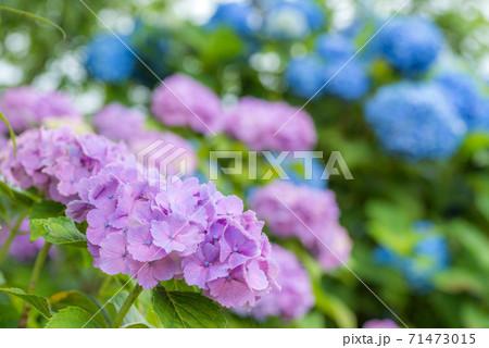 ボケをバックに紫色のアジサイの花 71473015