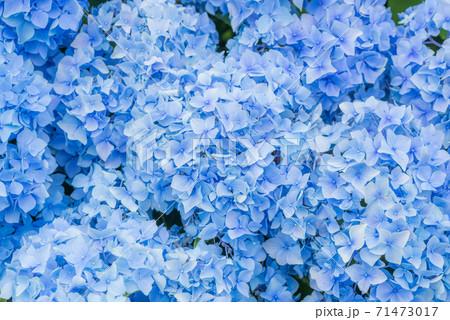 青いアジサイの花のバックグラウンド 71473017