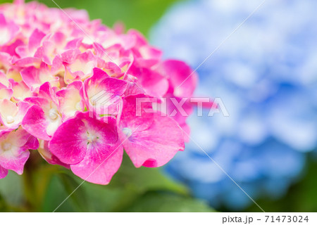 青をバックにピンクのアジサイの花のアップ 71473024