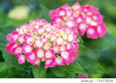 若い白とピンクのアジサイの花 71473026