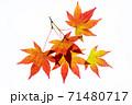 紅葉途上のモミジの葉の透過光撮影 71480717