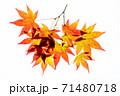 紅葉途上のモミジの葉の透過光撮影 71480718