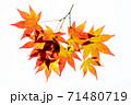 紅葉途上のモミジの葉の透過光撮影 71480719
