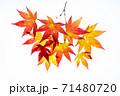 紅葉途上のモミジの葉の透過光撮影 71480720