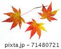 紅葉途上のモミジの葉の透過光撮影 71480721