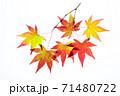 紅葉途上のモミジの葉の透過光撮影 71480722