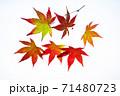 紅葉途上のモミジの葉の透過光撮影 71480723