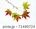紅葉途上のモミジの葉の透過光撮影 71480724