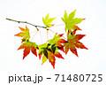 紅葉途上のモミジの葉の透過光撮影 71480725