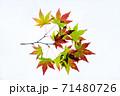 紅葉途上のモミジの葉の透過光撮影 71480726