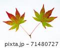 紅葉途上のモミジの葉の透過光撮影 71480727