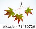 紅葉途上のモミジの葉の透過光撮影 71480729