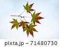 紅葉途上のモミジの葉の透過光撮影 71480730