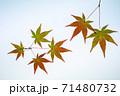 紅葉途上のモミジの葉の透過光撮影 71480732