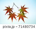 紅葉途上のモミジの葉の透過光撮影 71480734