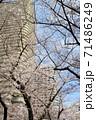 青空の下の満開の桜とタワーマンション 71486249