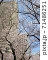 青空の下の満開の桜とタワーマンション 71486251