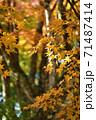 黄色い紅葉 71487414