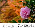 紅葉をバックに咲く山茶花 71489141