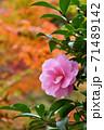 紅葉と山茶花の花 71489142