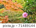 山茶花の花と紅葉 71489144