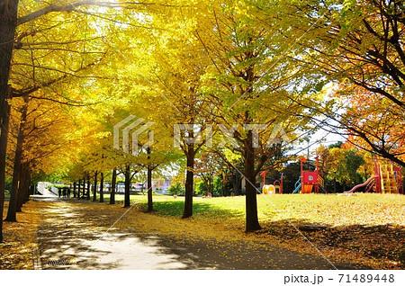 神奈川県藤沢市 御殿辺公園の黄葉イチョウ並木と遊具 71489448