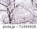 満開の桜【色鉛筆】 71494926