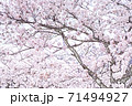 満開の桜【色鉛筆】 71494927