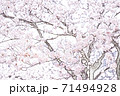 満開の桜【色鉛筆】 71494928