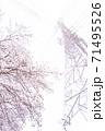 満開の桜と送電塔【色鉛筆】 71495526