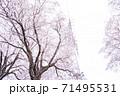 満開の桜と送電塔【色鉛筆】 71495531