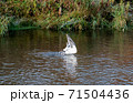 魚取りをする鳥 71504436