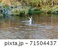 魚取りをするカモメ、鳥 71504437