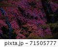 もみじ狩り 71505777