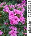 Asalia lilac beautiful bright colors in the garden 71525318