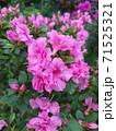 Asalia lilac beautiful bright colors in the garden 71525321