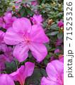 Asalia lilac beautiful bright colors in the garden 71525326
