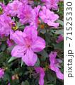Asalia lilac beautiful bright colors in the garden 71525330