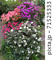 rododendron pink, white, lilac, red flowers blossom gaden park spring 71525333