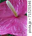 Anthurium flower pink color. Blossoming plant of Anthurium Flamingo flowers. 71525346