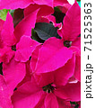 Pink bracts of a tropical flower Poinsetia, a hybrid variety, a gentle pastel background, a floral texture 71525363