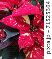 poinsetia beautiful houseplant with red flowers backgraund 71525364