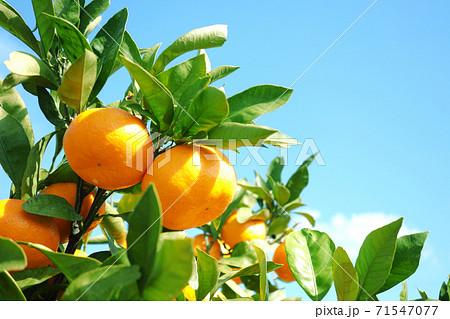 みかん 柑橘類 有田みかん 71547077