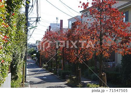 10月 世田谷455ハナミズキ並木の紅葉・二子玉川のシンボルツリー 71547505