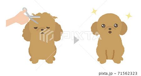 子犬のトリミング ビフォアアフター トイプードル 71562323