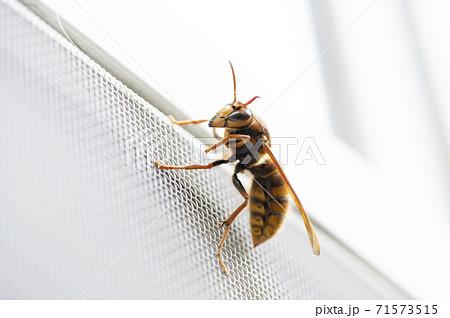網戸にとまったオオスズメバチ 71573515