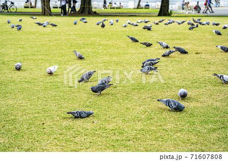 【神奈川県】たくさんのハトが集まる山下公園 71607808
