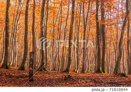《新潟県》秋の美人林・紅葉のブナ林 71610844