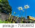 三重県いなべ市 北勢線のめがね橋を通り過ぎる黄色い電車と白い彼岸花 71616052