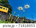 三重県いなべ市 北勢線のめがね橋を通り過ぎる黄色い電車と白い彼岸花 71616053
